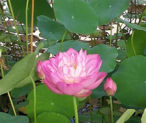 关于描写莲花的诗句大全